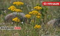 Rize`de Yetişen Çiçek Türleri