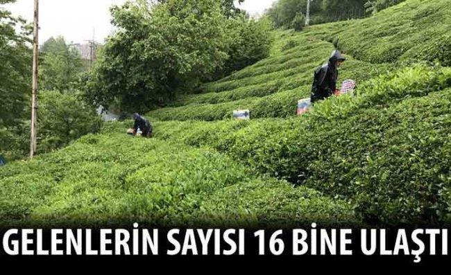 Çay Hasadı İçin Rize'ye Gelenlerin Sayısı 16 Bini Buldu