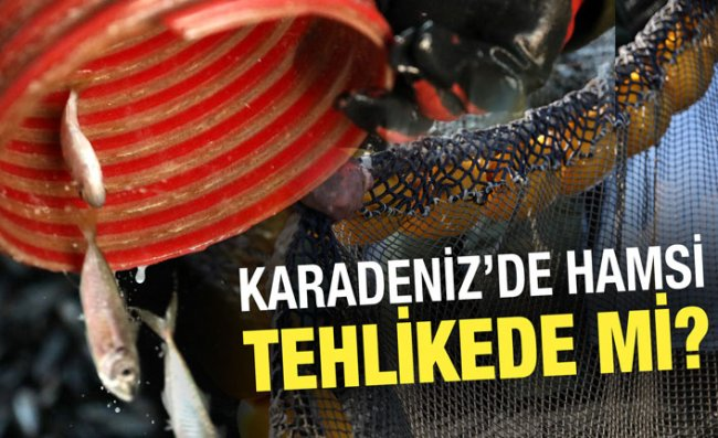 Karadeniz'de Hamsi Popülasyonu Tehlike Altında