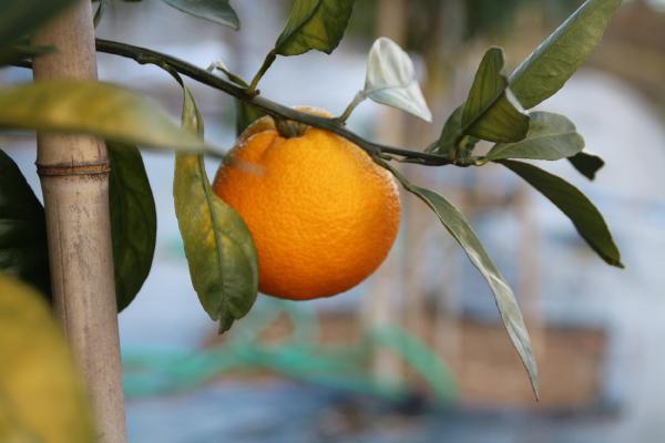 Rize mandalinasının tescili alınıyor