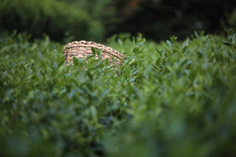 ÇAYKUR'un Beyaz Çay Stokları Pandemide Tükendi
