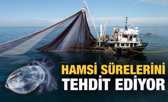 Hamsi Sürüleri 'Taraklı Denizanası' Tehdidi Altında