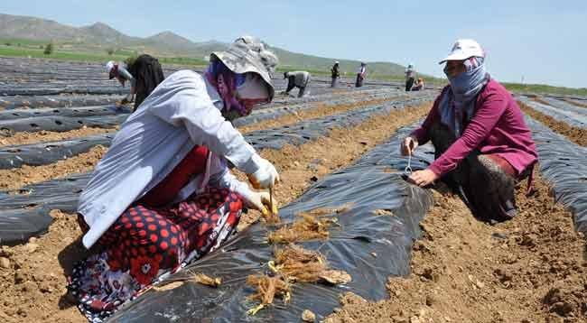 Çiftçilere 326 Bin Çilek Fidesi Dağıtıldı