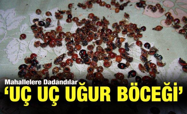 Rize'de 'Uğur Böceği' İstilası