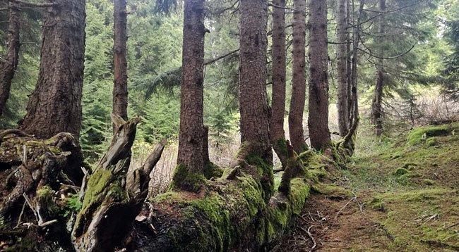 Gövdesinden 17 Ağaç Yetişen 300 Yıllık Ladin