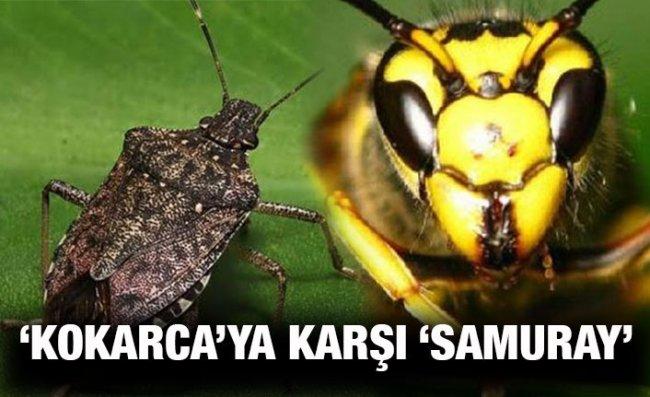 Fındığı Tehdit Eden 'Kahverengi Kokarca' Böceğini 'Samuray Arı' Yok Edecek