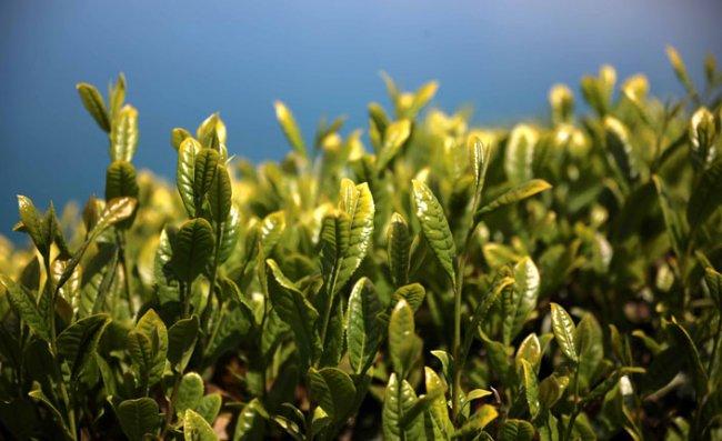 Çay Eksperleri Platformu: Toplanan Arz Fazlası Çay, Fiyatları Düşürüyor