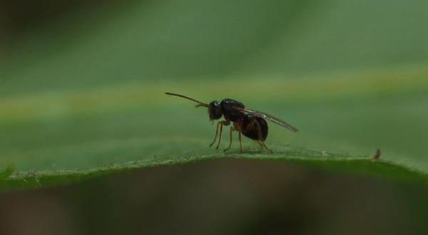 Doğu Karadeniz'de İlk Kez Görülen 'Katil Arı' İçin Biyolojik Mücadele