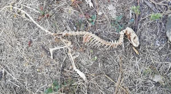 Giresun'da bulunan hayvan iskeleti araştırılıyor