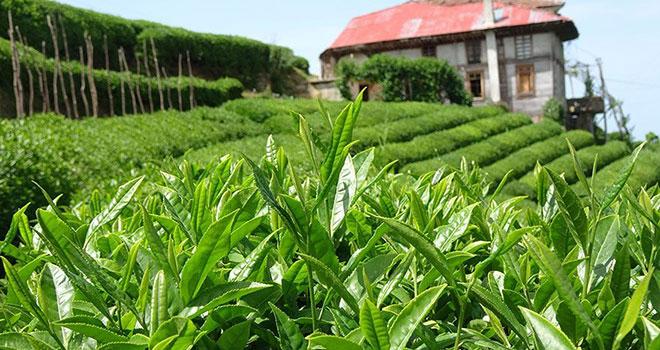 Rize'de çay ve çaycılık