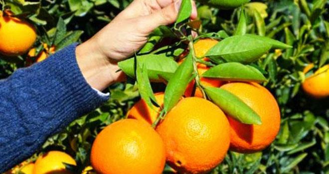 Haldoz'un portakalı